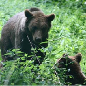 ein Bär